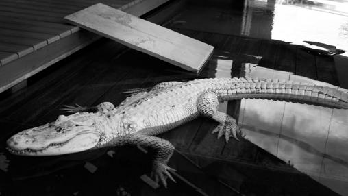 HEK_aligator